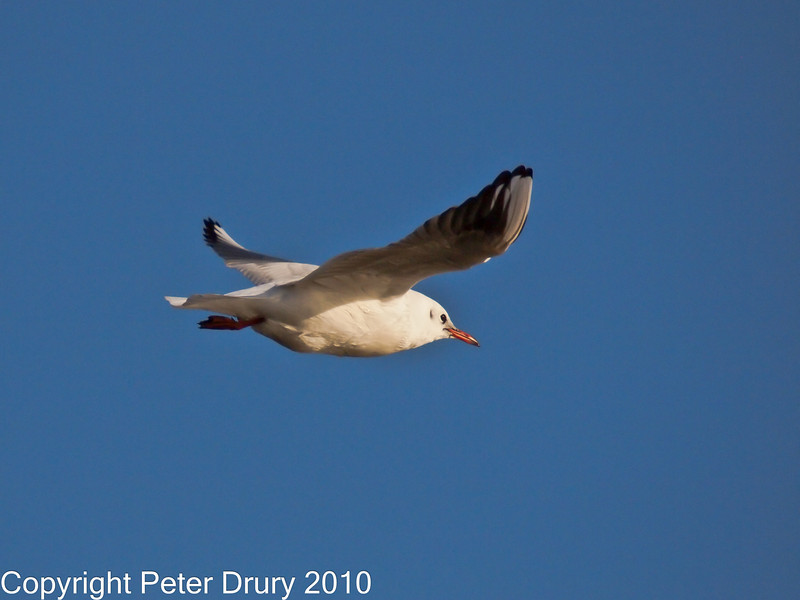 05 Dec 2010 - Black-headed Gull at Broadmarsh. Copyright Peter Drury 2010. Part of E5 Tests