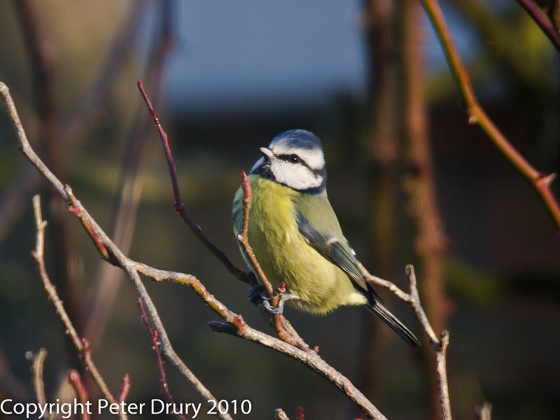 05 Dec 2010 - Blue tit at Widley. Copyright Peter Drury 2010.