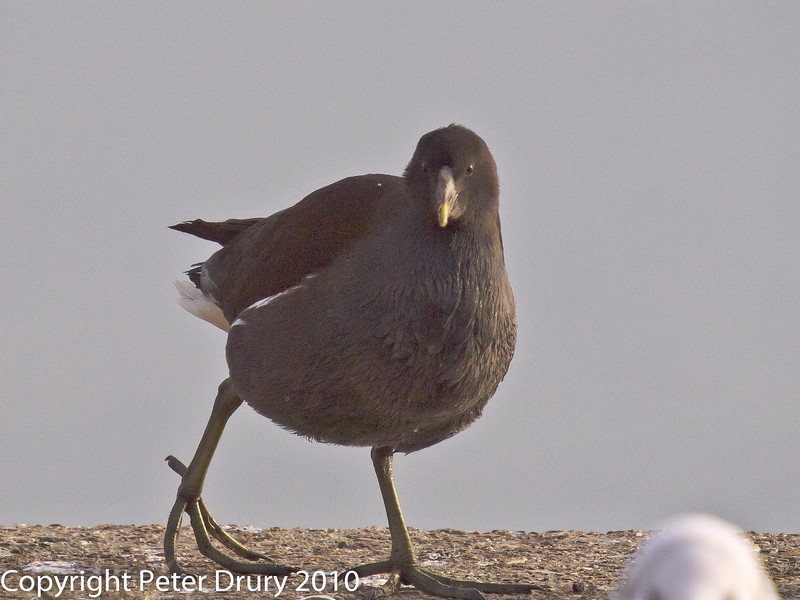 26 Dec 2010. Moorhen (Juvenile) at Broadmarsh, Langstone Harbour. Copyright Peter Drury 2010