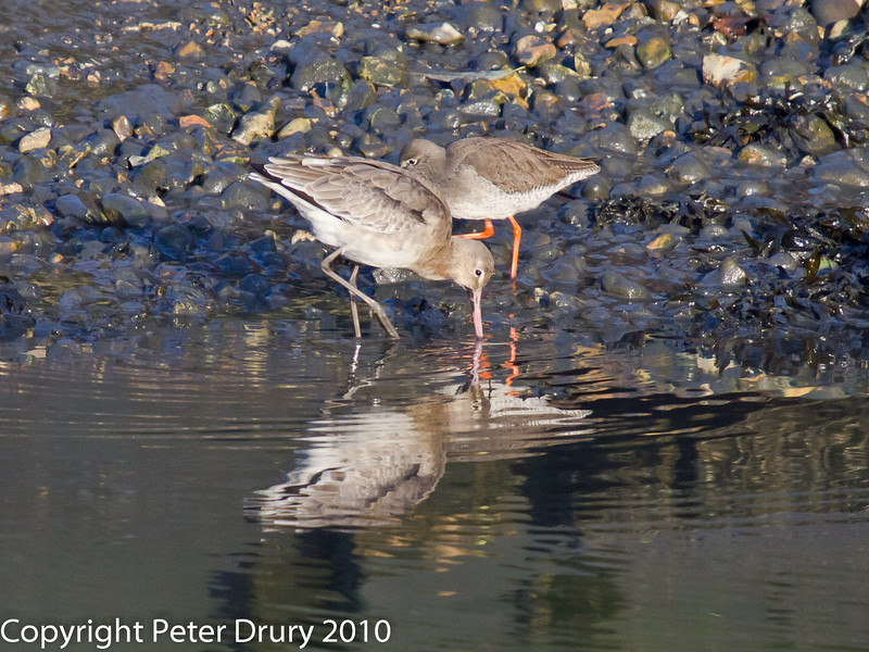 03 Dec 2010 - Black-tailed Godwit at Hermitage Stream. . Copyright Peter Drury 2010.