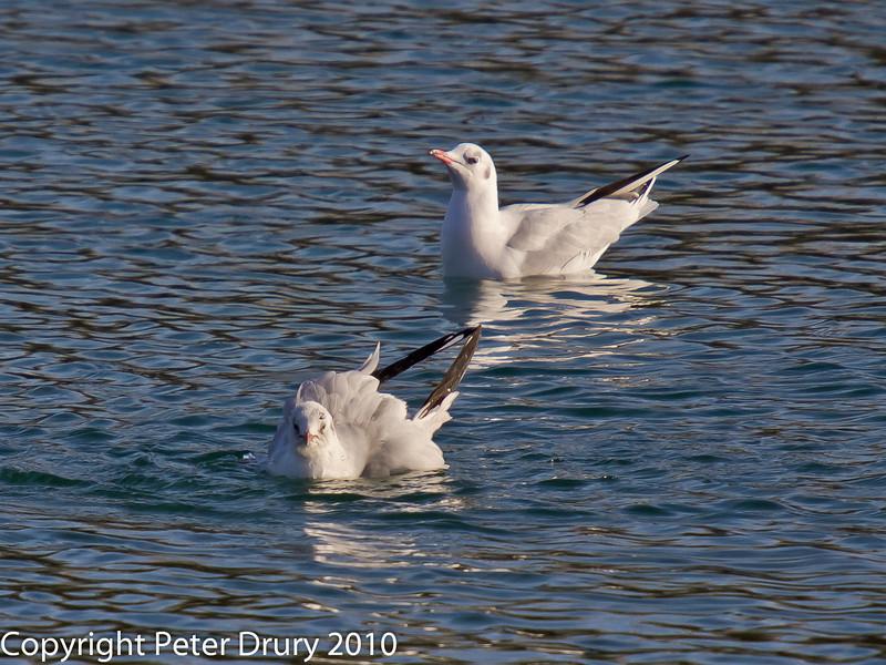 02 Jan 2011. Black-headed Gulls at Broadmarsh. Copyright Peter Drury 2011