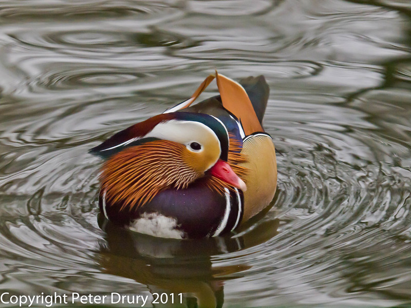 Mandarin Duck at Keydell. Copyright Peter Drury 2011<br /> Olympus E5 + Sigma 50-500. ISO 1600, f7.1, Exp 1/160, Focal length 208mm.