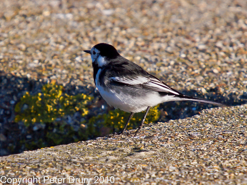 26 Nov 2010 - Pied Wagtail at Broadmarsh. Copyright Peter Drury 2010. From Camera jpg. <br /> Part of E5 Tests<br /> E5 + Sigma 50-500, ISO 200, f7.1, Aperture Priority