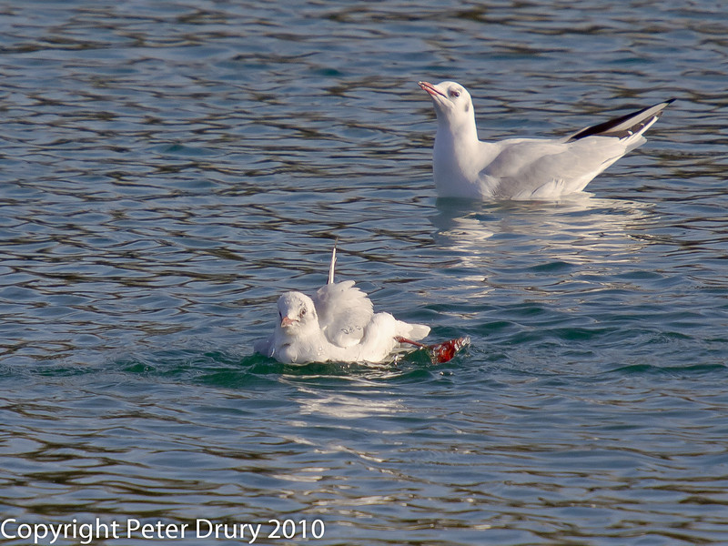 02 Jan 2011. Black-headed Gulls at Broadmarsh. Copyright Peter Drury 2011<br /> Irritated with crisp bag stuck to leg. A lesson to dispose of litter safely.