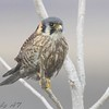 """Birds of Prey: Falcons: <span style=""""color:#fff; background:#333;"""">American Kestrel</span> <br><span class=""""showLBtitle"""">                                             </span> Riverlands Migratory Bird Sanctuary <br> Road to Confluence<br>  St. Charles County, Missouri <br>  <a href=""""/Birds/2008-Birding/Birding-2008-Jan-Feb/2008-02-04-RMBS-Confluence/i-xS5kTGS"""">2008-02-04</a> <br> <br> My 1st Missouri photo, species #46 <br> 2006-01-19 10:08:38 <br> <div class=""""noshow"""">See #46 in photo gallery <a href=""""/Birds/2006-Birding/Birding-2006-Jan-Feb/2006-01-19-Riverlands/i-gXCKr9n"""">Here</a></div>"""
