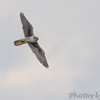 "Birds of Prey: Falcons: <span style=""color:#fff; background:#333;"">Prairie Falcon</span>  <br><span class=""showLBtitle"">                                             </span> Clarence Cannon National Wildlife Refuge <br> Pike County, Missouri <br> <a href=""/Birds/2016-Birding/Birding-2016-February/2016-02-28-29-Cannon-NWR/i-XTgL3GR"">2016-02-28</a> <br> <br> My 1st Missouri photo, species #320 <br> 2012-11-19 15:33:22 <br> <div class=""noshow"">See #320 in photo gallery <a href=""/Birds/2012-Birding/Birding-2012-November/2012-11-19-Western-MO/i-GWT4WWf"">Here</a></div>"