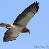 """Birds of Prey: Buteos: <span style=""""color:#fff; background:#333;"""">Swainson's Hawk</span>  <br><span class=""""showLBtitle"""">                                             </span> Hwy 44 Exit 84 <br> City of Springfield <br> Greene County, Missouri <br> <a href=""""/Birds/2011-Birding/Birding-2011-June/2011-06-05-Springfield/i-VCfpnd4"""">2011-06-05</a><br> <br> My 1st Missouri photo, species #305 <br> 2011-05-04 14:38:26 <br> <div class=""""noshow"""">See #305 in photo gallery <a href=""""/Birds/2011-Birding/Birding-2011-May/2011-05-04-Misc-Areas/i-HZmhtTZ"""">Here</a></div>"""