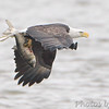"""Birds of Prey: Eagles: <span style=""""color:#fff; background:#333;"""">Bald Eagle</span>  <br><span class=""""showLBtitle"""">                                             </span> Creve Coeur Lake <br> St. Louis County, Missouri <br>  <a href=""""/Birds/2009-Birding/Birding-2009-January/2009-01-12-Creve-Coeur-Lake/i-7Wxdbxw"""">2009-01-12</a> <br> <br> My 1st Missouri photo, species #45 <br> 2006-01-07 <br><div class=""""noshow"""">See #45 in photo gallery <a href=""""/Birds/2006-Birding/Birding-2006-Jan-Feb/2006-01-07-Riverlands/i-c4HX4pF"""">Here</a></div>"""