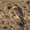 "Birds of Prey: Falcons: <span style=""color:#fff; background:#333;"">Merlin</span>  <br><span class=""showLBtitle"">                                             </span> Confluence Road <br>  Riverlands Migratory Bird Sanctuary <br>  St. Charles County, Missouri <br>  <a href=""/Birds/2010-Birding/Birding-2010-November/2010-11-03-RMBS/i-qSG6Qct"">2010-11-03</a> <br>  <br> My 1st Missouri photo, species #216 <br> 2008-10-19 16:23:57 <br> <div class=""noshow"">See #216 in photo gallery <a href=""/Birds/2008-Birding/Birding-2008-October/2008-10-19-Missouri-Bottom/i-czccbvT"">Here</a></div>"