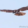 "Birds of Prey: Buteos: <span style=""color:#fff; background:#333;"">Red-tailed Hawk</span>  <br> Spillway Marsh  <br> Riverlands Migratory Bird Sanctuary <br> <a href=""/Birds/2011-Birding/Birding-2011-December/2011-12-27-RMBS-CPSP/i-rqSGKTH"">2011-12-27</a> <br><br> My 1st Missouri photo, species #48 <br> 2005-10-29 13:46:33 <br><div class=""noshow"">  See #48 in photo gallery  <a href=""/Birds/2005-Birding/2005-10-29-Hwy-79-Corridor/i-VRh2mHx""> Here</a> </div>"