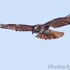 "Birds of Prey: Buteos: <span style=""color:#fff; background:#333;"">Red-tailed Hawk</span>  <br><span class=""showLBtitle"">                                             </span> Spillway Marsh   <br> Riverlands Migratory Bird Sanctuary <br> St. Charles County, Missouri <br> <a href=""/Birds/2011-Birding/Birding-2011-December/2011-12-27-RMBS-CPSP/i-rqSGKTH"">2011-12-27</a> <br> <br> My 1st Missouri photo, species #48 <br> 2005-10-29 13:46:33 <br><div class=""noshow"">  See #48 in photo gallery <a href=""/Birds/2005-Birding/2005-10-29-Hwy-79-Corridor/i-VRh2mHx"">Here</a></div>"