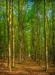 Beech woodland near Broughton