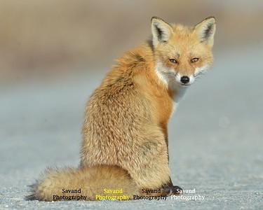 Savand- Fox