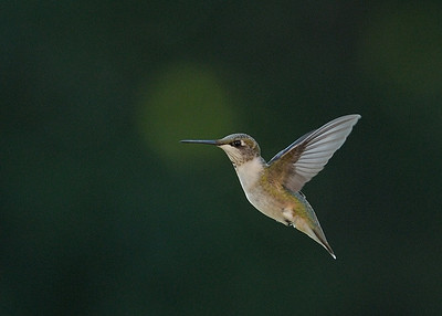 8-24-13 Hummers