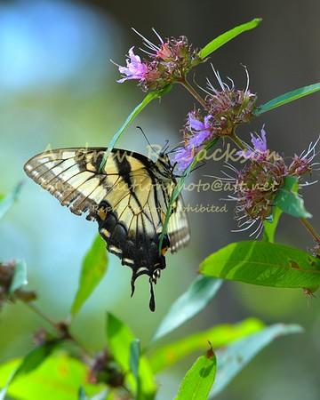 8-28-16 Butterfly