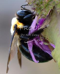 DSC_7831-bumblebee