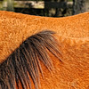 A color image of Chincoteague pony manes on Virginia's Eastern Shore