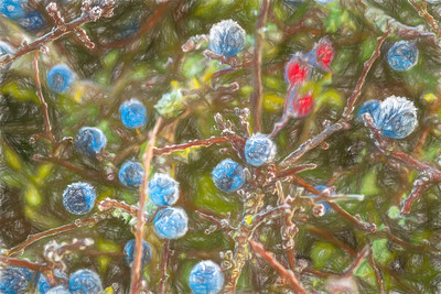 Sloes Frosty  more hawthorn.4160-Edit-2.jpg