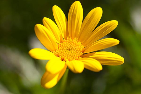 YellowFlower-P3