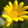 YellowFlower-sRGB