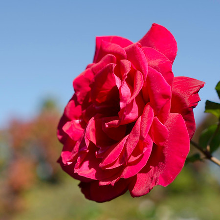 Rose-ProPhoto
