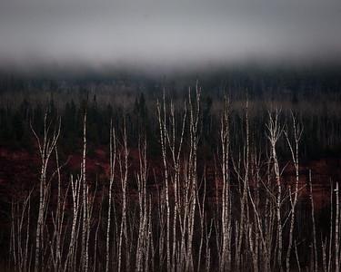 Birches, red rock & fog