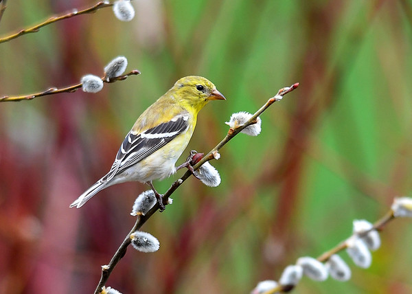 """<div class=""""jaDesc""""> <h4>Female Goldfinch on Pussy Willow Branch  - May 3, 2018</h4> <p>This beautiful lady Goldfinch was very cooperative, landing on a pussy willow branch in the morning sunlight.</p></div>"""
