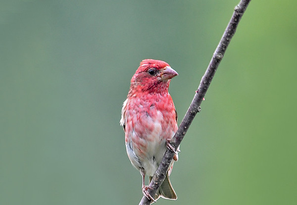 """<div class=""""jaDesc""""> <h4>Immature Male Purple Finch - July 17, 2018</h4> <p>A male Purple Finch from this year's nest.</p></div>"""