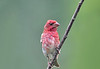 "<div class=""jaDesc""> <h4>Immature Male Purple Finch - July 17, 2018</h4> <p>A male Purple Finch from this year's nest.</p></div>"