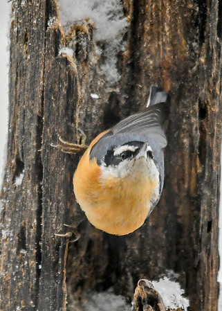 """<div class=""""jaDesc""""> <h4>Red-breasted Nuthatch Nose Way Up - January 29, 2019</h4> <p></p></div>"""