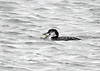 "<div class=""jaDesc""> <h4> Common Loon Swallowing Crab - November 13, 2018 </h4> <p> </p> </div>"