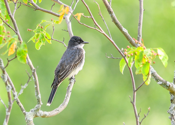 """<div class=""""jaDesc""""> <h4>Male Kingbird  in Serviceberry Tree - June 13, 2017</h4> <p>Kingbirds are fly catchers, so they won't be eating the serviceberries when they ripen.  This guy was rotating his head almost 360 degrees looking for bugs.</p> </div>"""
