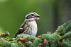 """<div class=""""jaDesc""""> <h4>Female Rose-Breasted Grosbeak Munching Seed - May 4, 2017</h4> <p>Rose-breasted Grosbeaks can shell and eat a sunflower seed in 15 seconds with their big bills.  They have voracious appetites.</p> </div>"""