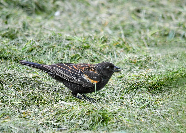 """<div class=""""jaDesc""""> <h4>1st Year Male Red-winged Blackbird Ground Feeding - May 2, 2017</h4> <p>This is an immature male Red-winged Blackbird.  He has some feathering that looks like the female, but his head and under belly are solid black like the adult male. </p></div>"""