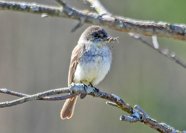 """<div class=""""jaDesc""""> <h4>Phoebe Catches Bug - April 23, 2017</h4> <p>This male Phoebe arrived early this past week.  He called loudly for four days and now has a mate.  They were catching bugs together this morning.</p> </div>"""