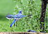 "<div class=""jaDesc""> <h4>Blue Jay Take-off - May 5, 2017</h4> <p>I was lucky to get this shot of a Blue Jay leaving the feeder log.  The feather color patterns are very interesting.</p> </div>"