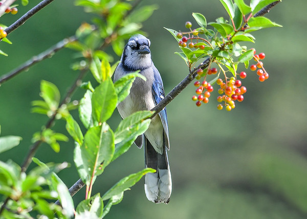 """<div class=""""jaDesc""""> <h4>Blue Jay in Cherry Tree - July 10, 2017</h4> <p>The cherries are ripening quickly.  In a few days it is going to be feast time.</p> </div>"""