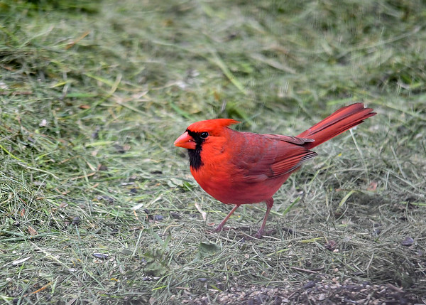 """<div class=""""jaDesc""""> <h4>Male Cardinal Ground Feeding - May 2, 2017</h4> <p>Given that it is mating season, two Cardinals have been competing for the area around our house.  This guy won.</p> </div>"""