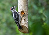 """<div class=""""jaDesc""""> <h4>Immature Male Hairy Woodpecker Eating Suet - September 18, 2016</h4> <p>This immature male Hairy Woodpecker is still missing some red feathers on top of his head.  He is enjoying my homemade peanut butter suet that I spread in a hanging birch log.</p></div>"""