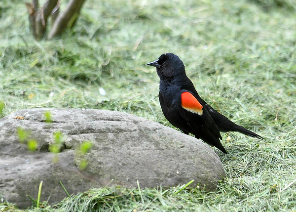 """<div class=""""jaDesc""""> <h4>Male Red-winged Blackbird Warning - May 2, 2017</h4> <p>Whenever another bird would get near this male Red-winged Blackbird, he would flare his red wing feathers.</p></div>"""