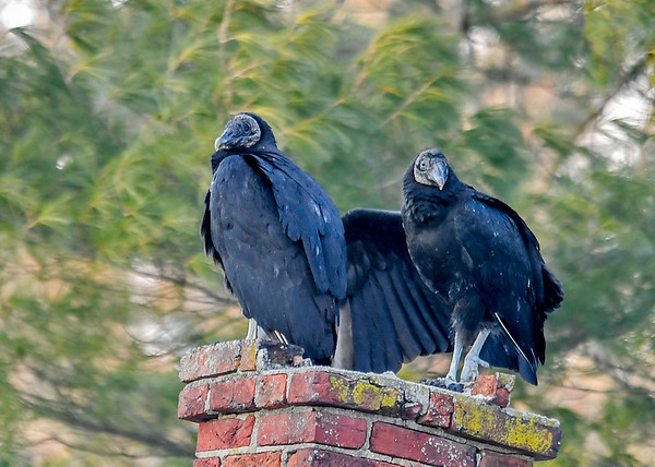 """<div class=""""jaDesc""""> <h4> Young Black Vulture - Wing Spread - March 10, 2018</h4> <p> the young Black Vulture started to raise its right wing in preparation for grooming.</p> </div>"""