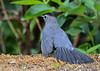"<div class=""jaDesc""> <h4>Catbird in Aggressive Posture - June 28, 2018</h4> <p>This Catbird chased Doves, Starlings and Blackbirds off of the feeding table by strutting around with her tail flared.</p> </div>"