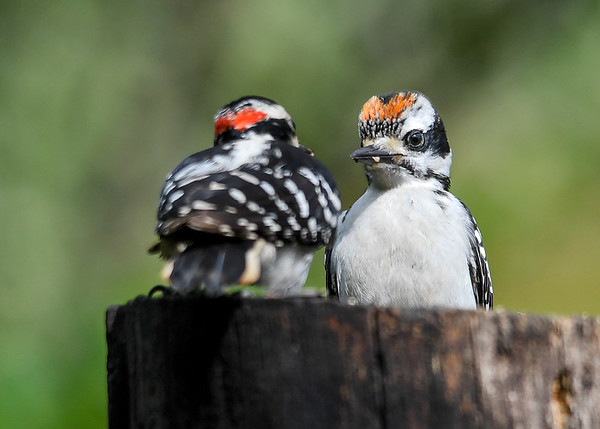 """<div class=""""jaDesc""""> <h4>Baby Hairy Woodpecker with Dad - June 30, 2017</h4> <p>This is a baby Hairy Woodpecker from our second nesting pair.  Dad has been feeding him my homemade peanut butter suet, notice the small piece on his beak.  He was probably being fed some while he was still in the nest.</p></div>"""