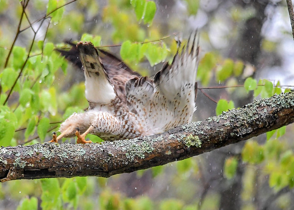 """<div class=""""jaDesc""""> <h4> Broad-winged Hawk Pushing Off - May 6, 2017</h4> <p>After the initial lean forward, he pushed off and was on his way further down the road and into the dense woods.</p> </div>"""