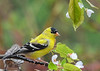 "<div class=""jaDesc""> <h4>Male Goldfinch on Apple Branch  - May 12, 2018</h4> <p>We have 24 Goldfinch around all day long.  Love having their bright colors and cheery calls.</p></div>"