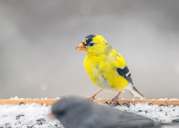 "<div class=""jaDesc""> <h4>Male Goldfinch Close-up - April 5, 2019</h4> <p></p></div>"