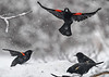 "<div class=""jaDesc""> <h4>Red-winged Blackbirds - Here Comes Trouble - March 2, 2018</h4> <p>It was snowing and blowing hard today.  We had about 40 Red-winged Blackbirds descend on our feeder areas.  With this male Red-winged Blackbird inbound, I knew things were going to get interesting. </p></div>"