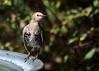 """<div class=""""jaDesc""""> <h4> Immature Starling Half Molted - September 20, 2017</h4> <p>This immature Starling is still working on his winter plumage. Three or four of them will take a bath in a birdbath at the same time.  They can splash out most of the water very quickly.</p> </div>"""