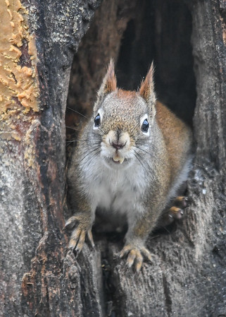 """<div class=""""jaDesc""""> <h4>Red Squirrel on Alert Ears Up - January 7, 2019 </h4> </div>"""