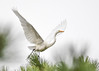 "<div class=""jaDesc""> <h4>Great Egret Wings Fully Extended - October 23, 2017</h4> <p></p></div>"